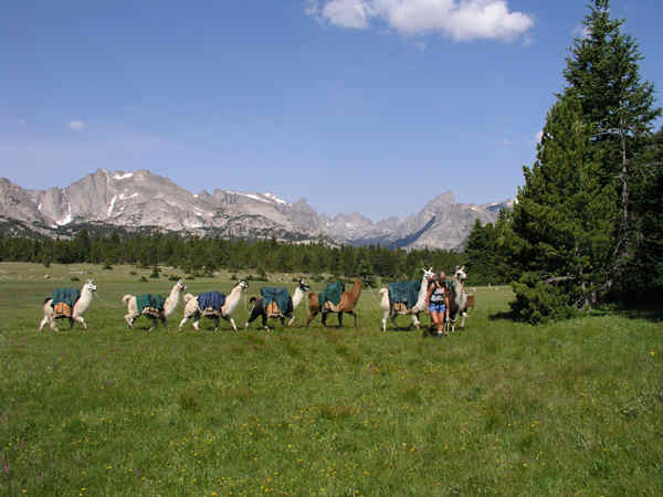 pack llamas in wild sheep country